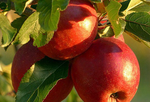 Bildergalerie Obstbäume und Obststräucher