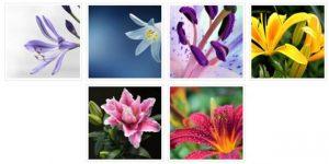 Neue Fotogalerie Lilien auf mein-garten.de