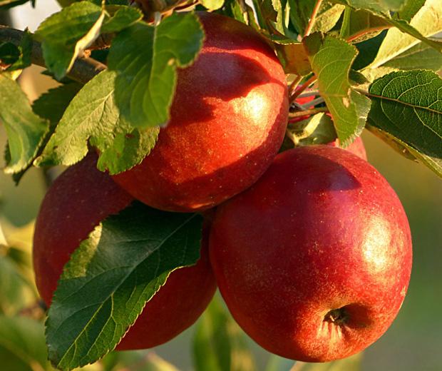 Bildergalerie Apfelbäume