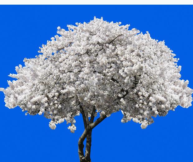 Fotogalerie Kirschbäume