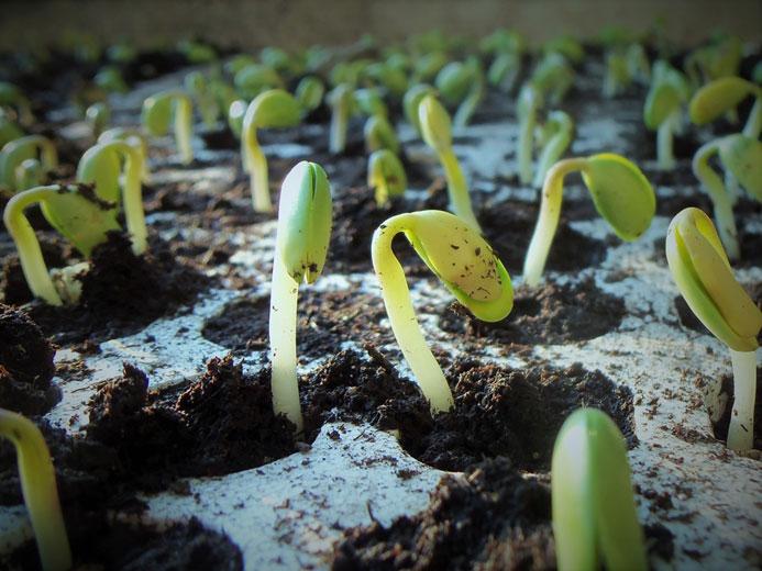 Aufmacherbild Pflanzen ausdünnen